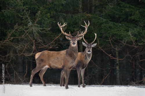 Photo sur Aluminium Cerf Father And Son: Two Generations Of Noble Deer. Two Red Deer (Cervus Elaphus ) Stand Next To The Winter Forest. Winter Wildlife Story With Deer And Spruce Forest. Two Stag Close-Up. Belarus Republic.