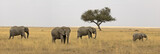 Fototapeta Sawanna - Group of elephants in Serengeti national park, Tanzania