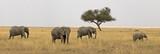 Fototapeta Sawanna - Group of elephants in Serengeti national park, Tanzania