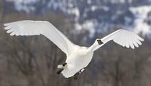 Trumpeter Swan Flies Over Pond...