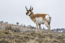 Male Pronghorn Standing On Hill In Winter In Yellowstone