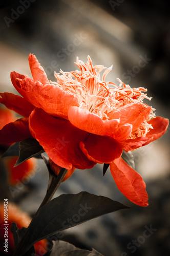 Plakaty czerwony kwiat