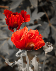 Fototapeta Do sypialni Two red poppies and seed box on aged background. Selective focus.