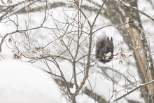 Squirrel In The Wintry Forest Of Plitvice Lakes National Park, Croatia, Europe