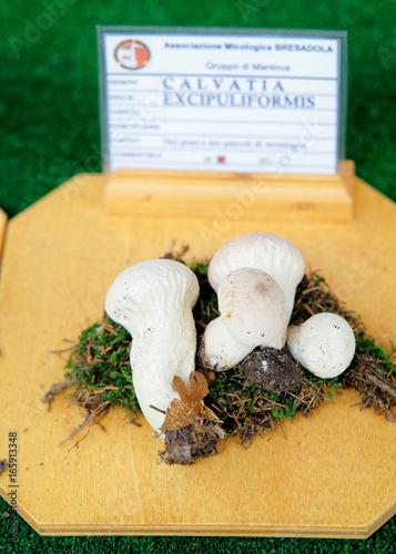 Fotografie, Obraz  Calvatia excipuliformis at mycological exhibition of mushrooms in Mantua
