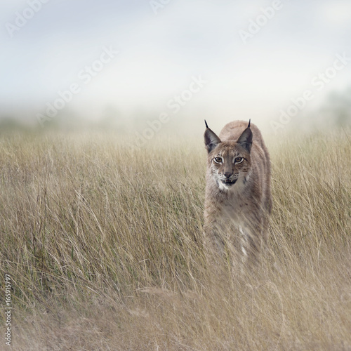 Aluminium Prints Lynx Young Lynx In the Grassland