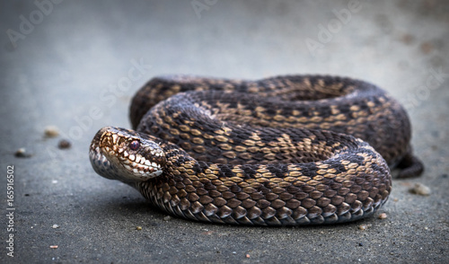 Photo Snake, Common European Adder, Vipera berus