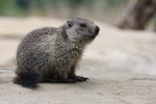 Petite Marmotte Sur Un Rocher