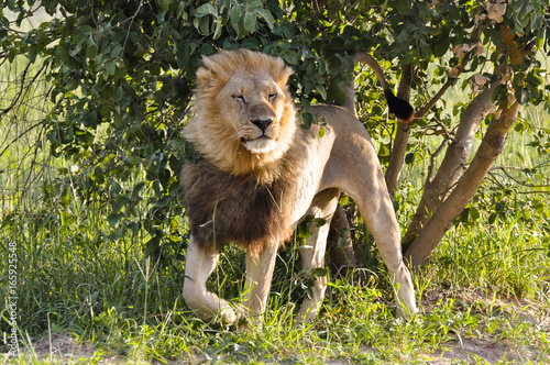 Photo  Lion in the Wind