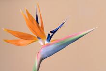 Strelitzia Reginae, Bird Of Paradise Flower