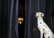 The Dalmatian Dog Watching