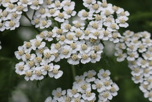 Bush Of Yarrow In Full Bloom