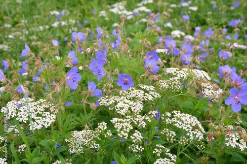 Plakat Błękitni i biali dzicy kwiaty w łące