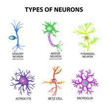 1235456 Types Of Neurons. Structure Sensory, Motor Neuron, Astrocyte, Pyromidal, Betz Cell, Microglia. Set. Infographics. Vector Illustration On Isolated Background