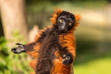 A Red Ruffed Lemur In The Arti...