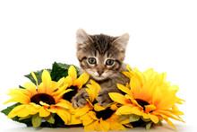 Cute Tabby Kitten Wiht Sunflow...