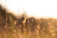 Golden Sunlit Grass At Dusk