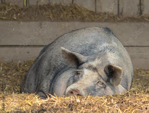 Photo  Ossabaw Island Hog