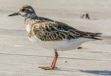 Ruddy Turnstone 4520