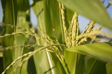 Sweet Corn Pollinating Tassels Macro Shot In Indiana Garden