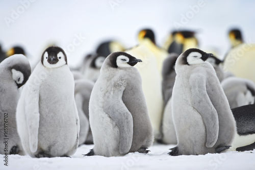 In de dag Pinguin Emperor Penguin (Aptenodytes forsteri), chick at Snow Hill Island, Weddel Sea, Antarctica