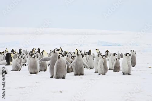 Emperor Penguin (Aptenodytes forsteri), chicks at Snow Hill Island, Weddel Sea, Canvas Print