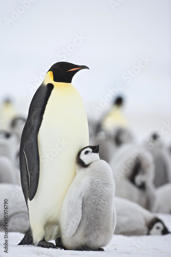 Emperor Penguin (Aptenodytes forsteri) with chick at Snow Hill Island, Weddel Sea, Antarctica