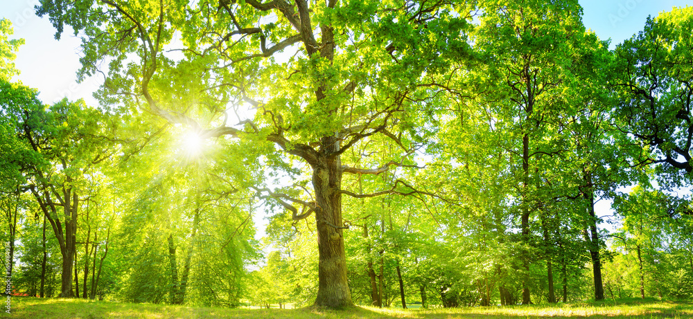 Fototapety, obrazy: old oak tree foliage in morning light with sunlight