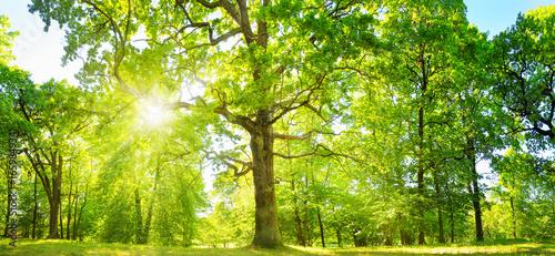Fototapeta old oak tree foliage in morning light with sunlight obraz