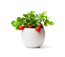 Strawberry  Plant With Berries In Small Pot Isolated On White