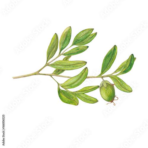 Valokuva  Watercolor isolated illustration of jojoba branch