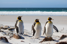 King Penguin Trio On The Beach