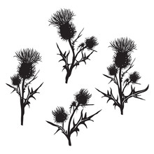 Decorative Vector Thistle (Carduus Acanthoides)