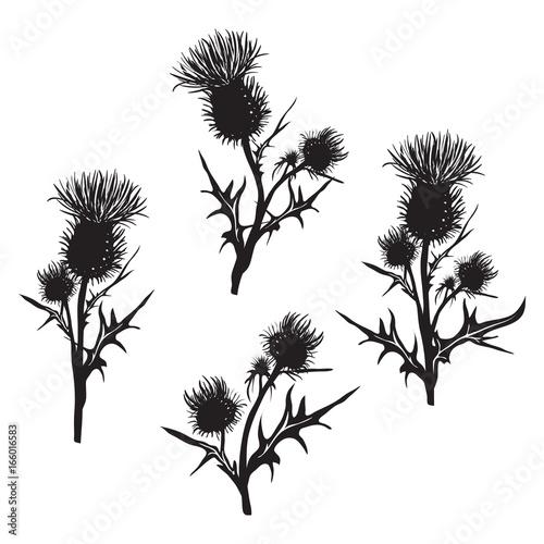 Stampa su Tela Decorative vector thistle (Carduus acanthoides)