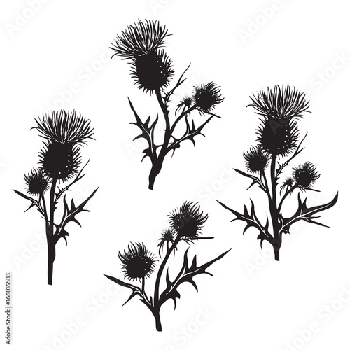 Obraz na plátně Decorative vector thistle (Carduus acanthoides)