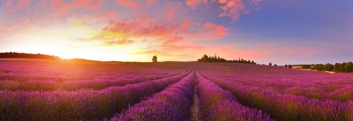 Fototapeta Panorama of lavender field at sunrise, Provence, France
