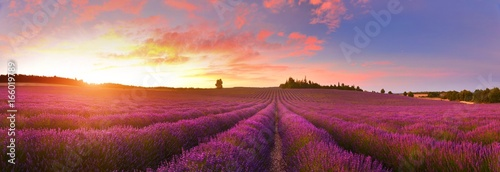 Tuinposter Crimson Panorama of lavender field at sunrise, Provence, France