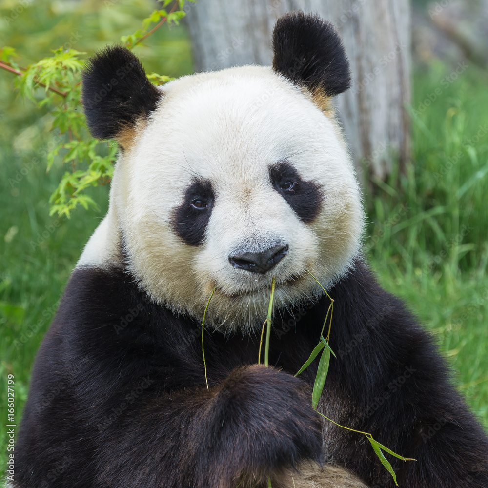 Giant panda sitting on the grass eating bamboo