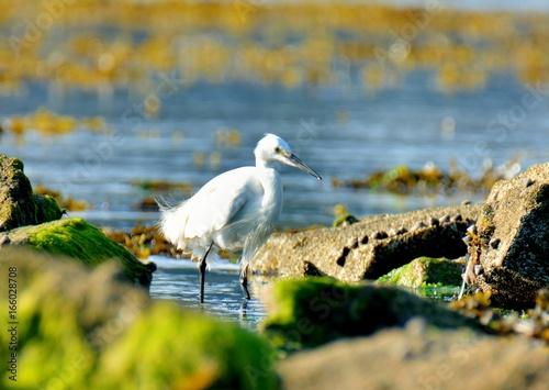 Photo Une aigrette blanche dans les rochers en bord de mer