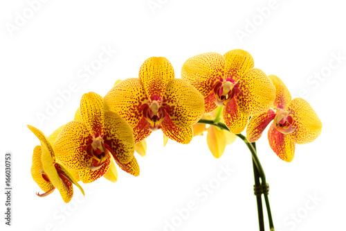 Kwiat storczyka na białym tle. - 166030753
