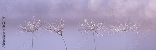 dandelion-z-kroplami-deszczu-na-pieknym-subtelnym-tle