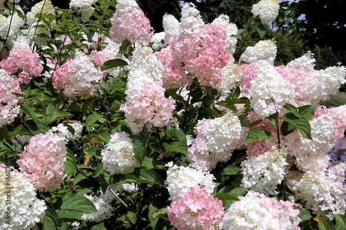 Hydrangea Limelight Paniculata bush in summer garden