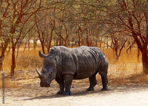 Rinoceronte en Senegal, África