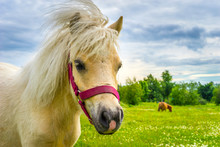 Horse Looking At The Camera. Portrait Of A Horse. White Pony On A Background Of Green Grass. White Horse.
