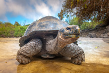 Galapagos Islands. Galapagos Tortoise. Big Turtle. Ecuador.