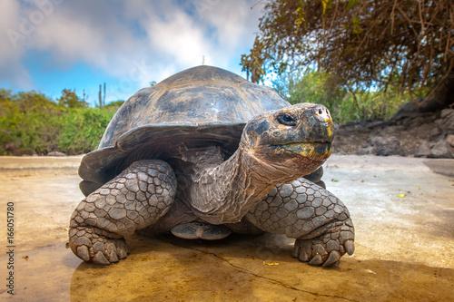 Poster Tortue Galapagos Islands. Galapagos tortoise. Big turtle. Ecuador.