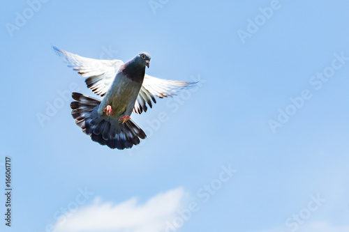 homing speed racing pigeon landing to ground