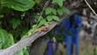chameleon thailand run on wood green background