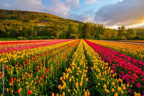 tulips-field