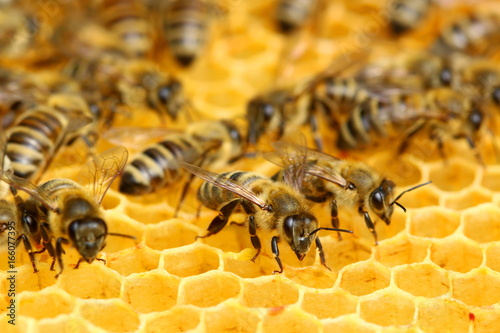 Poster Bee Bees on the honeycomb